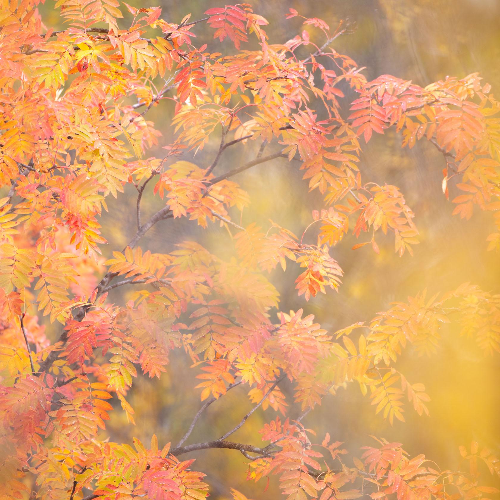 Feuilles de sorbier en automne, en Norvège