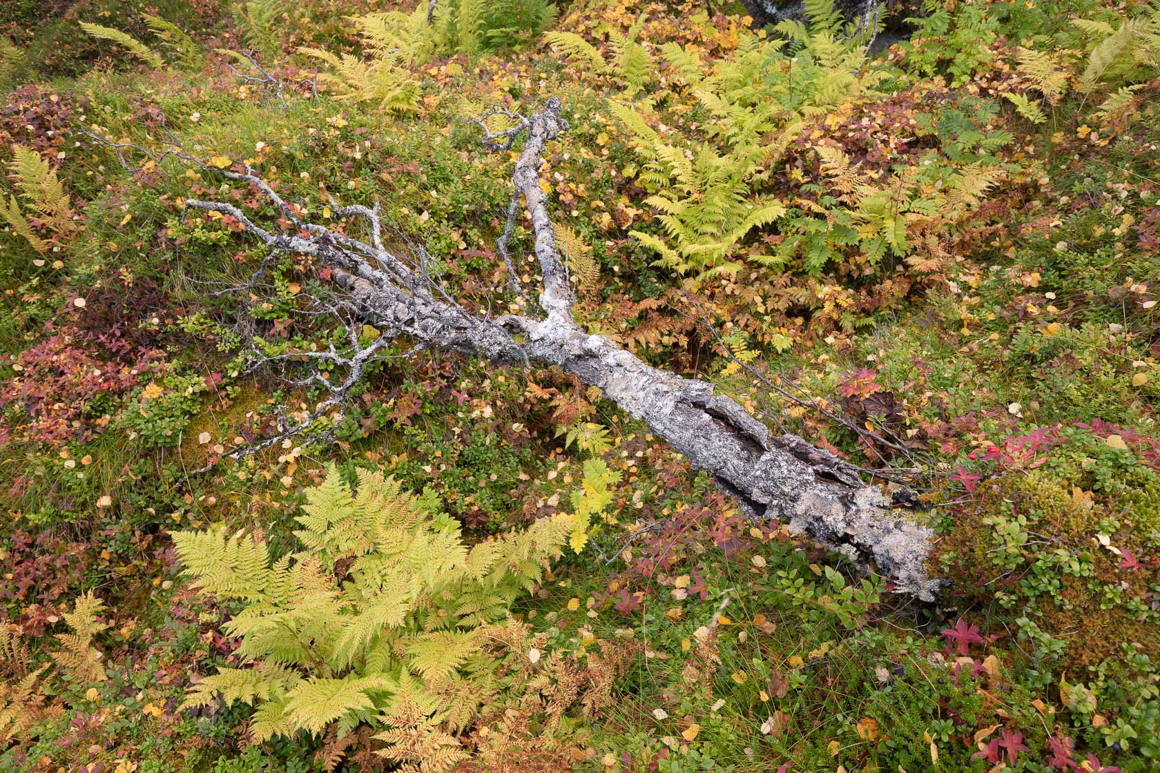 bouleau mort dans la toundra, avec des fougères et des myrtilles, n Norvège