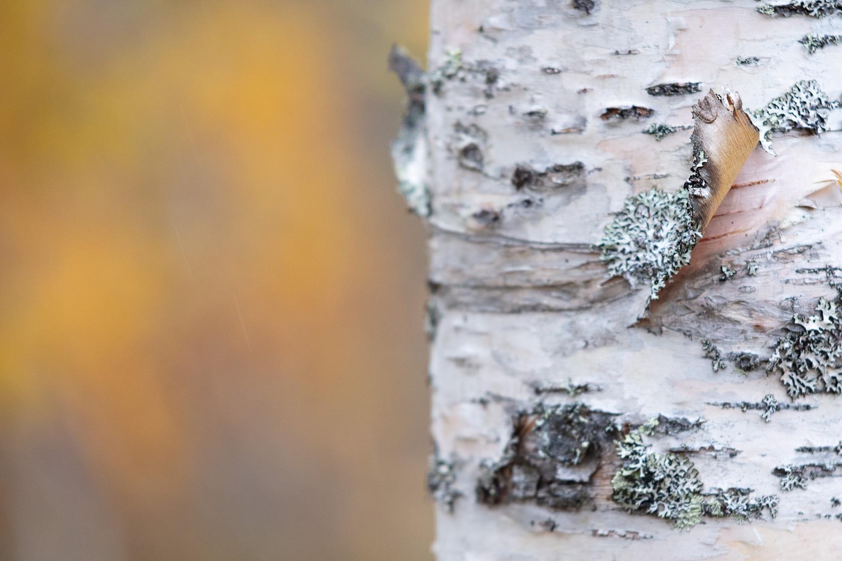 détail de l'écorce du bouleau dans une forêt boréale des Alpes de Lyngen, pendant un voyage photo en Norvège