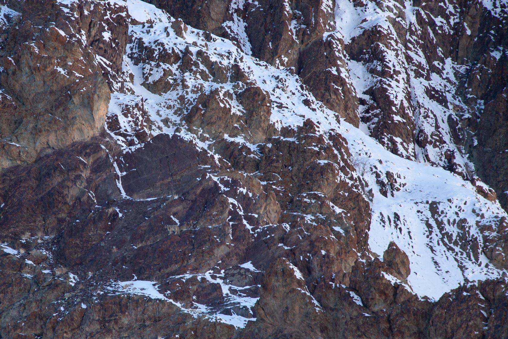panthère des neiges (Panthera uncia) dans les rochers, au ladakh, en Inde