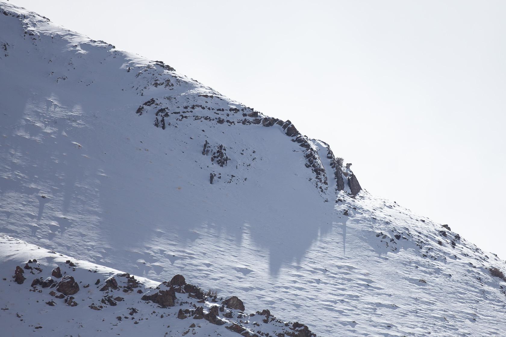 panthère des neiges (Panthera uncia) sur un rocher, ladakh Inde