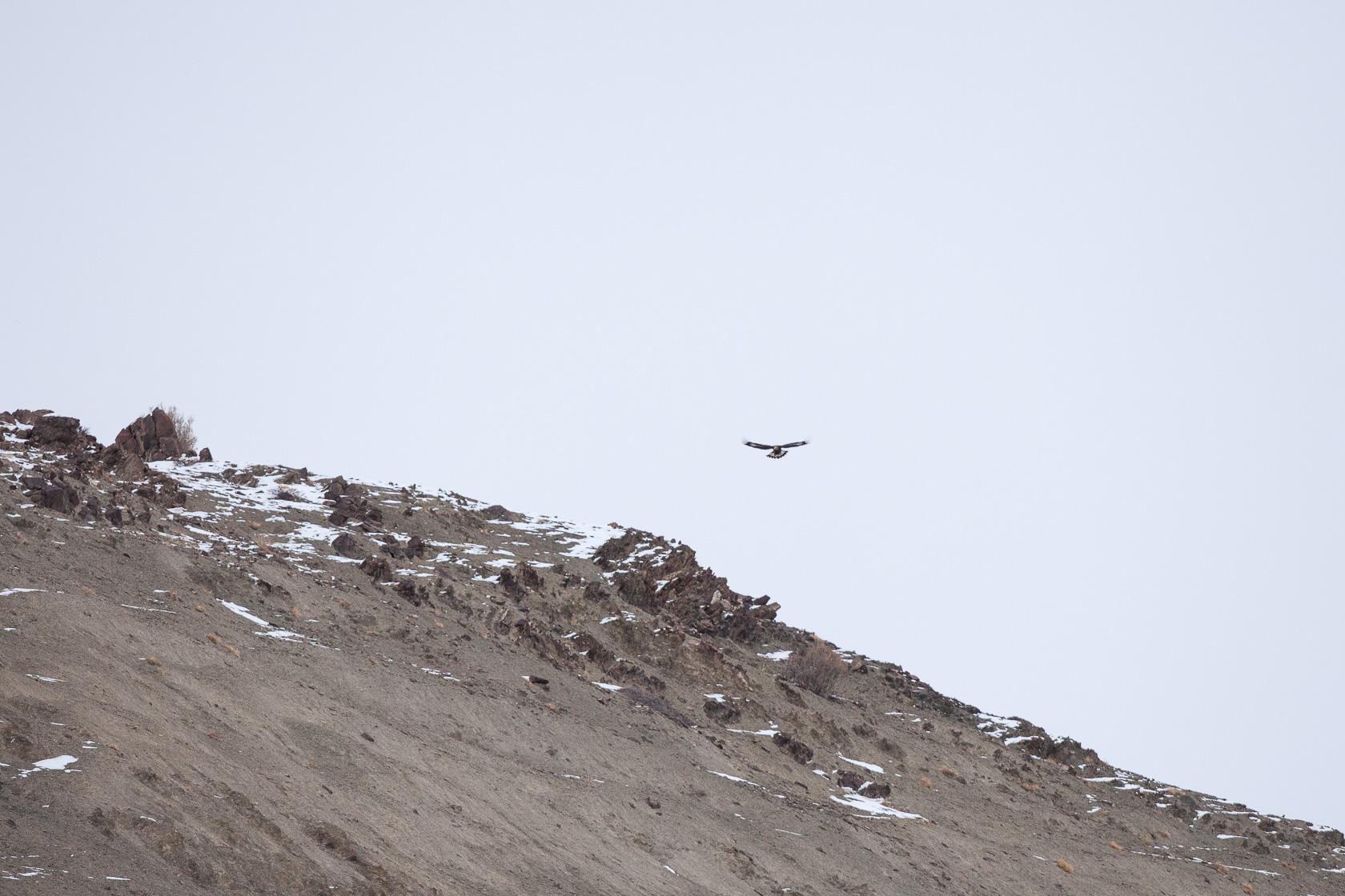 interaction entre un aigle royal (Aquila chrysaetos) et une panthère des neiges (Panerez Unia) au ladakh