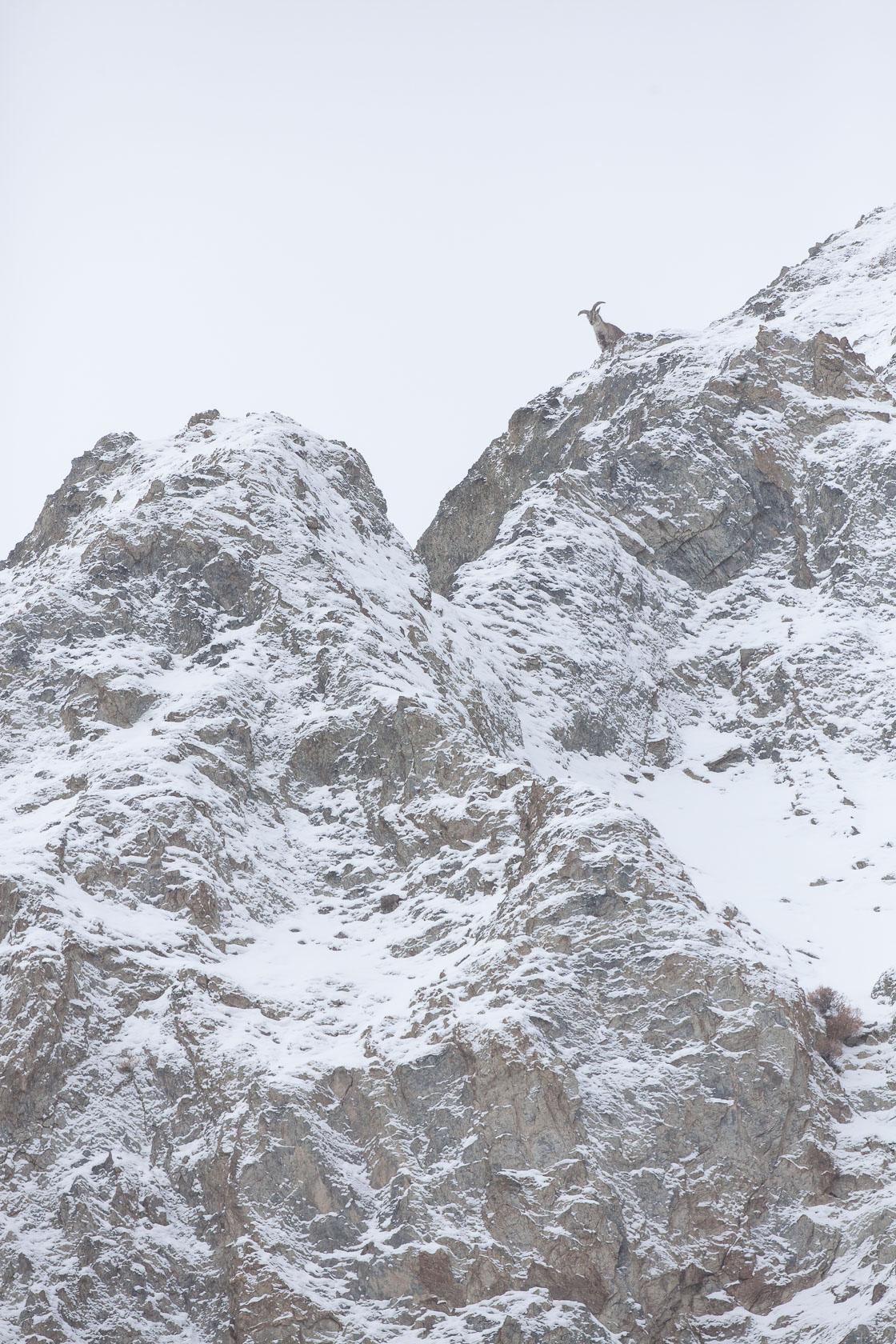 Bharal mâle sur une falaise au ladakh