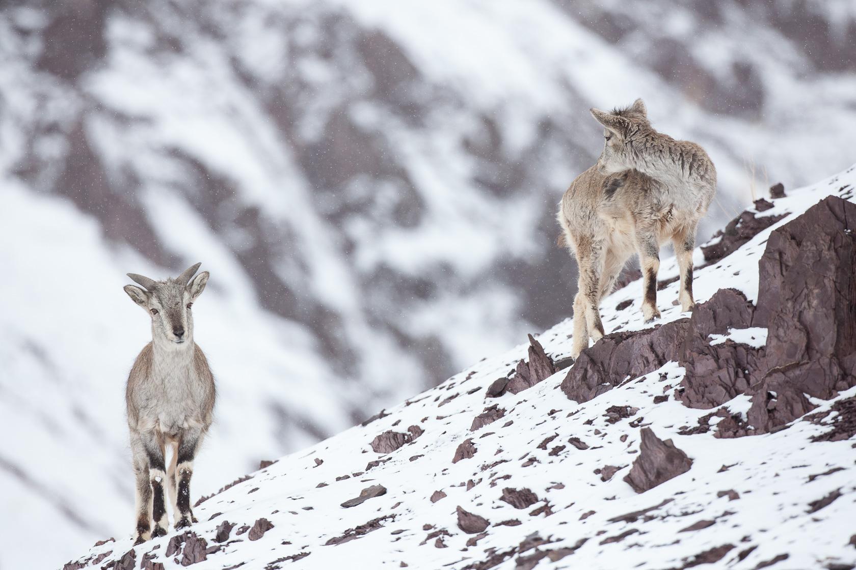 Bharal femelle et son jeune (Pseudois nayaur) au Ladakh
