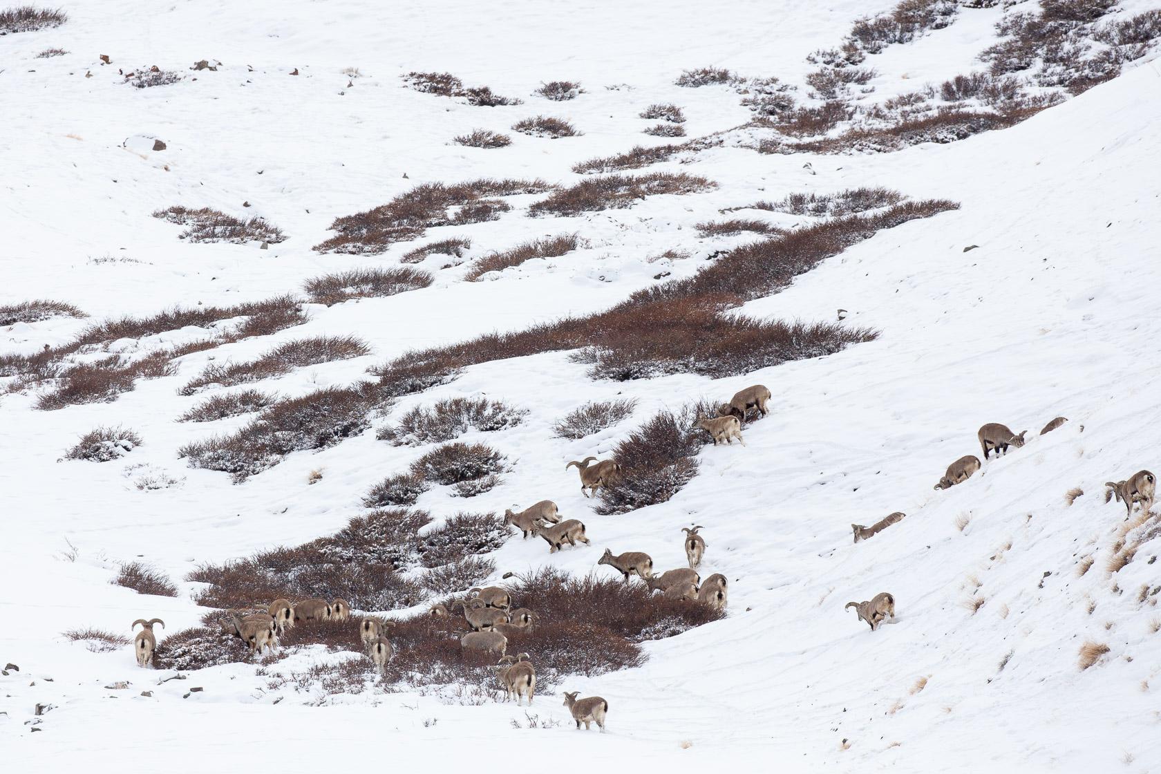 troupeau de bharals (Pseudois mayaur) se nourrissant près de Yurutse, au ladakh