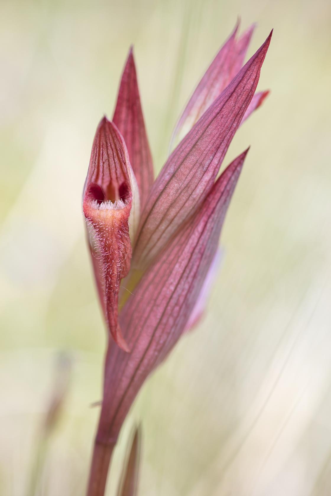 Orchidée Sérapias à labelle allongé (Serapias vomacera)