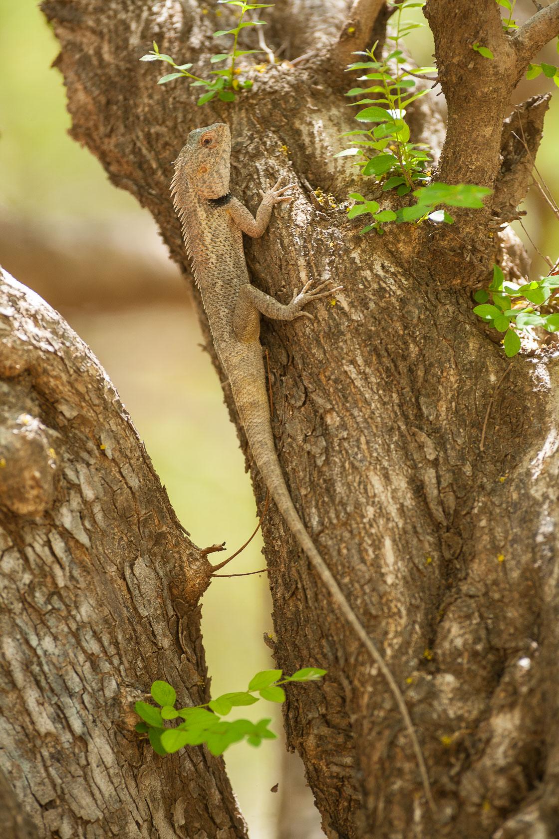 Agame versicolore (Calotes versicolor) dans le Wadi Darbat, à Oman