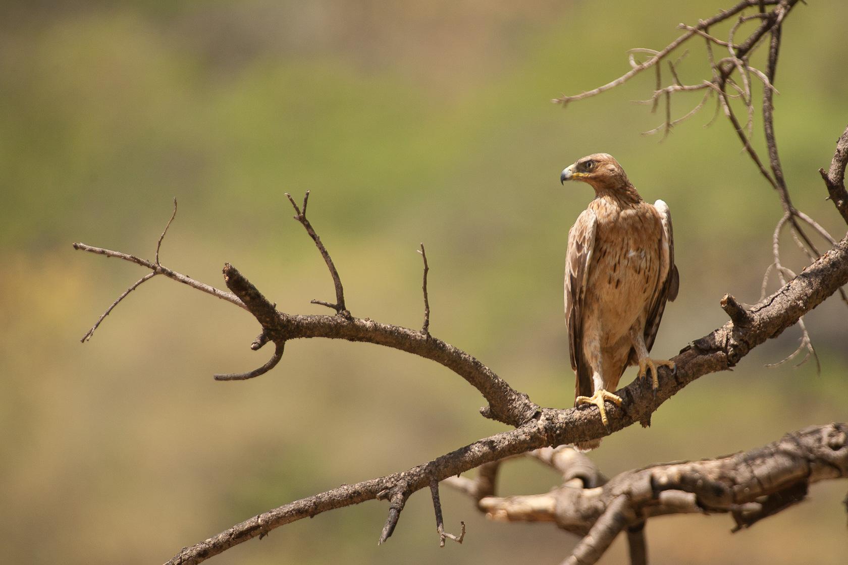 Aigle de Bonelli (Aquila fasciata) dans le wadi Darbat, province du Dhofar, à Oman