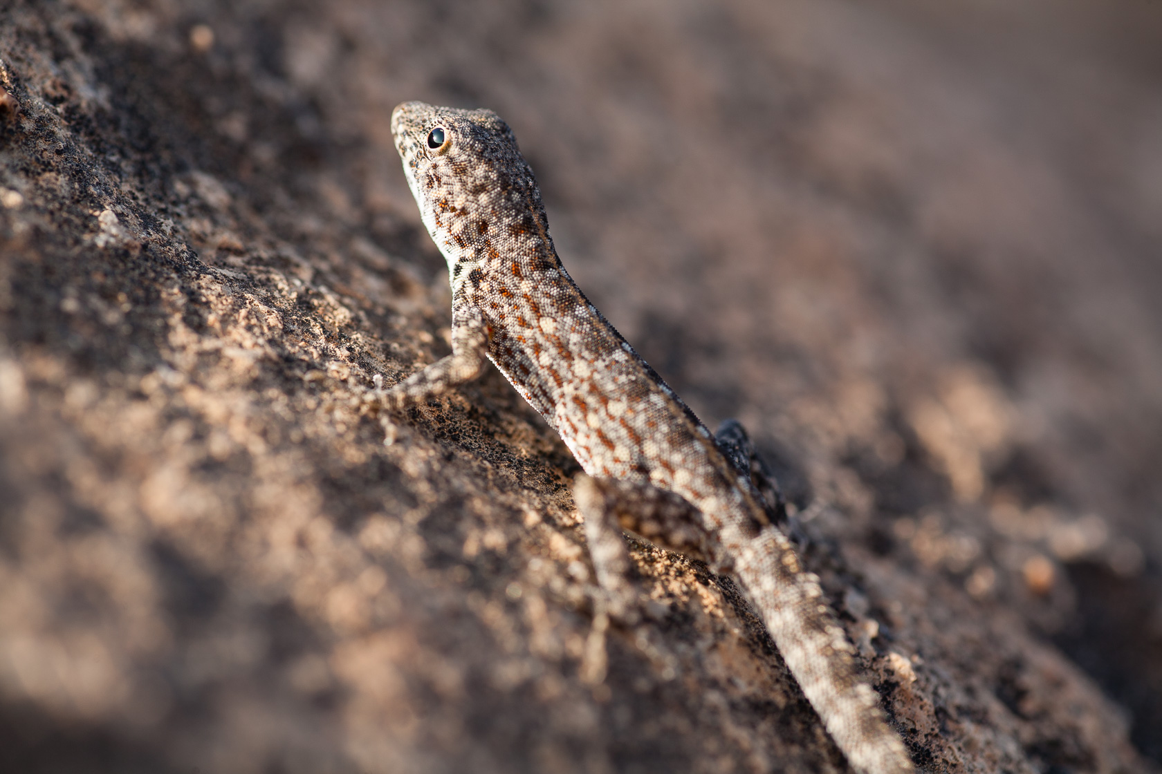 Gecko sémaphore (Pristurus rupestris) dans le Dhofar, à Oman