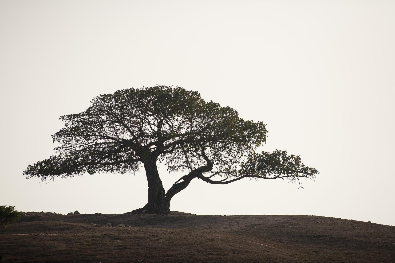 Figuier sur le plateau du Dhofar, dans le sud d'Oman