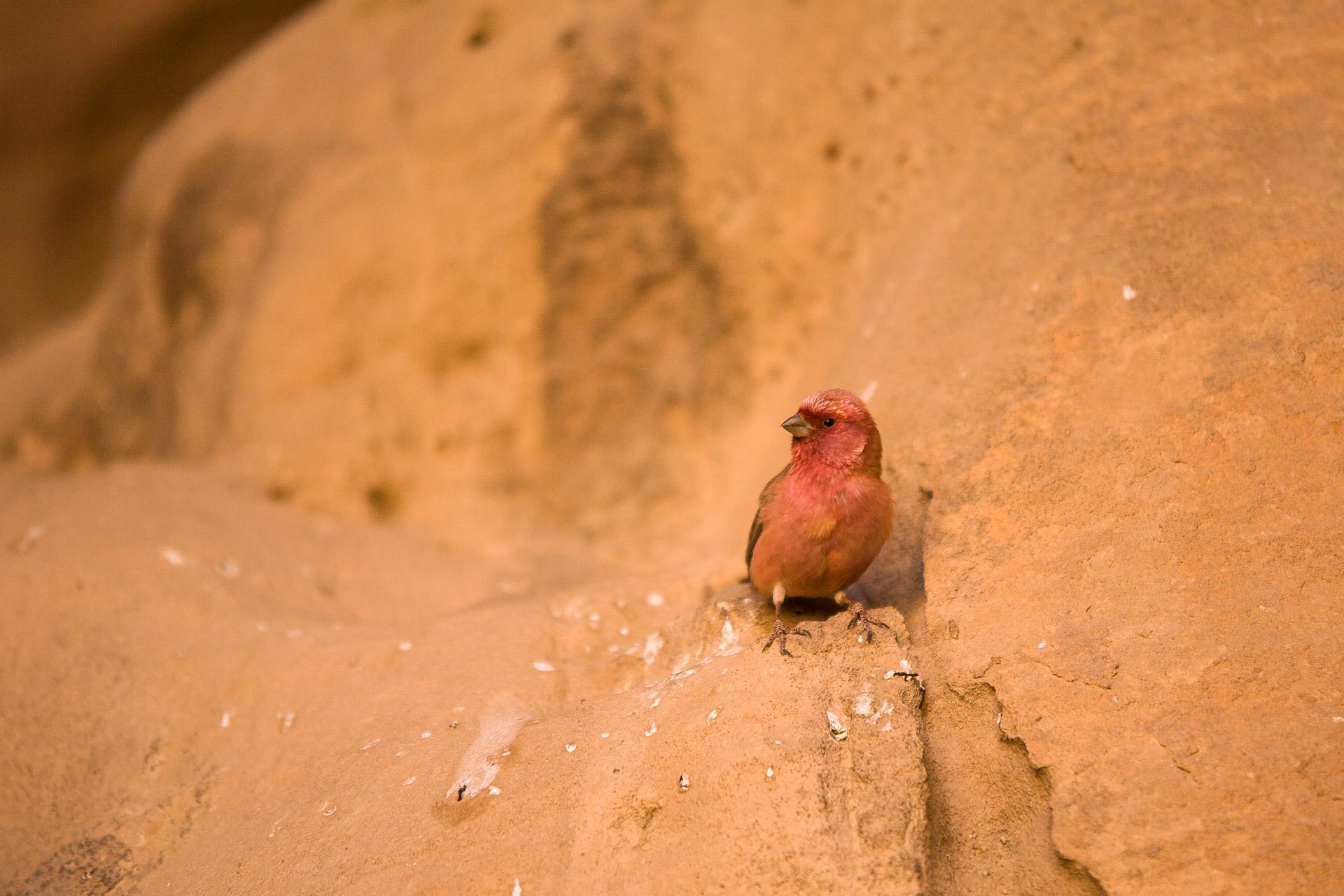 Roselin du Sinaï (Carpodacus synoicus), oiseau national du royaume hachémite de Jordanie