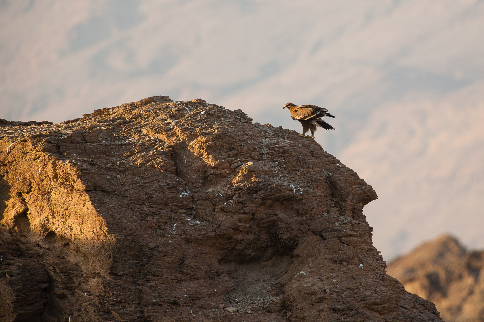Aigle des steppes (Aquila nipalensis) à Oman