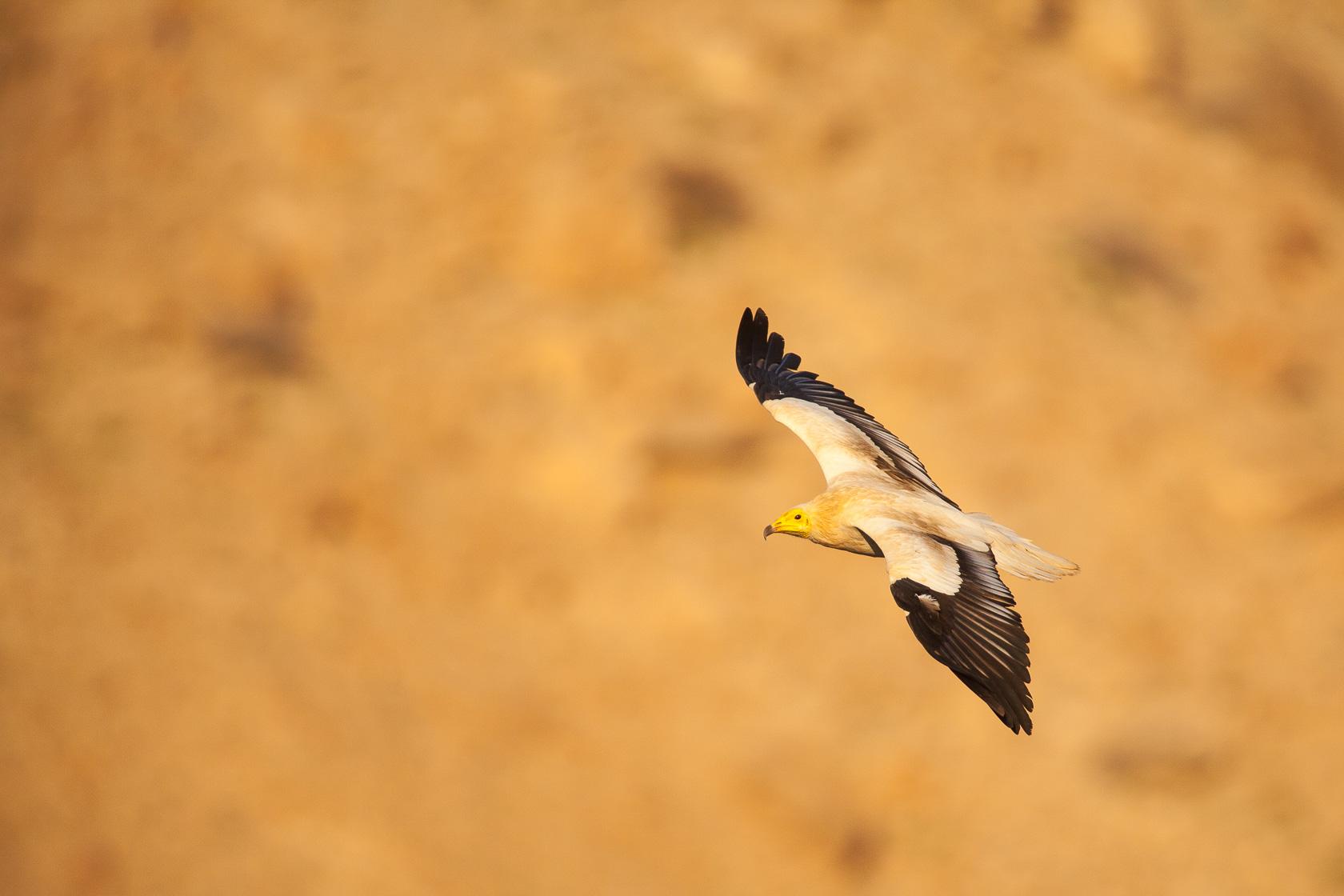 Vautour percnoptère (Neophron percnopterus) au Sultanat d'Oman