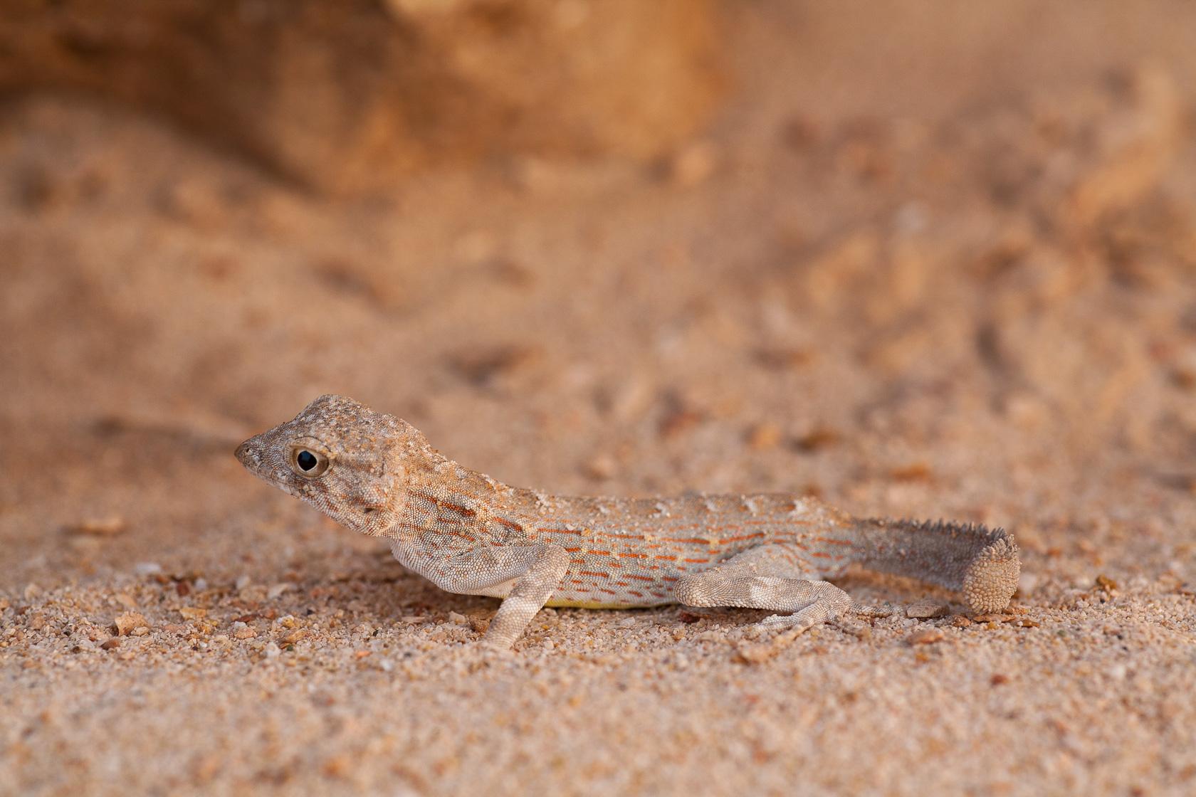 Gecko à queue de scorpion (Pristurus carter) à Oman