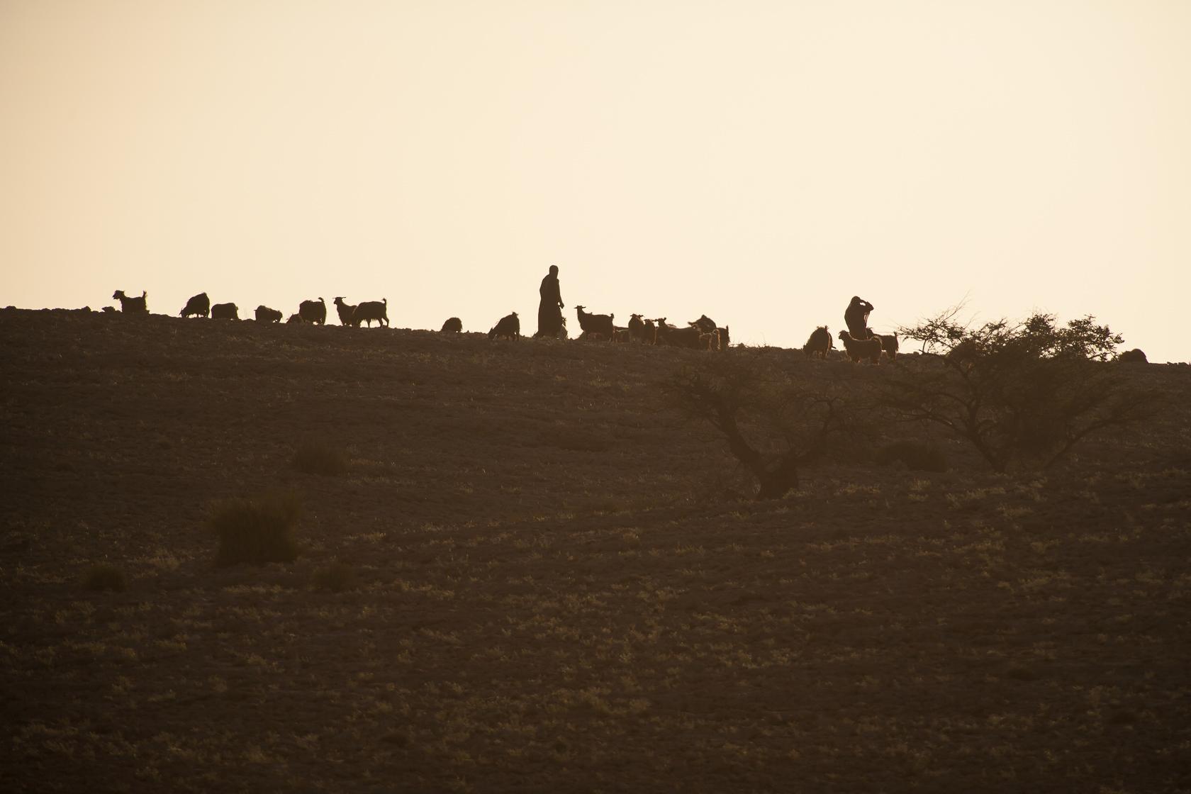 bergers et leur troupeau de chèvres sur le Salmah Plateau à Oman