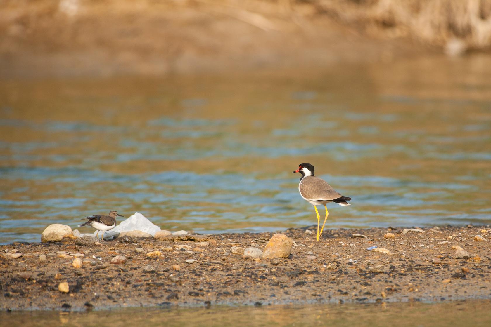 Vanneau indien (Vanellus indicus) dans le nord d'Oman