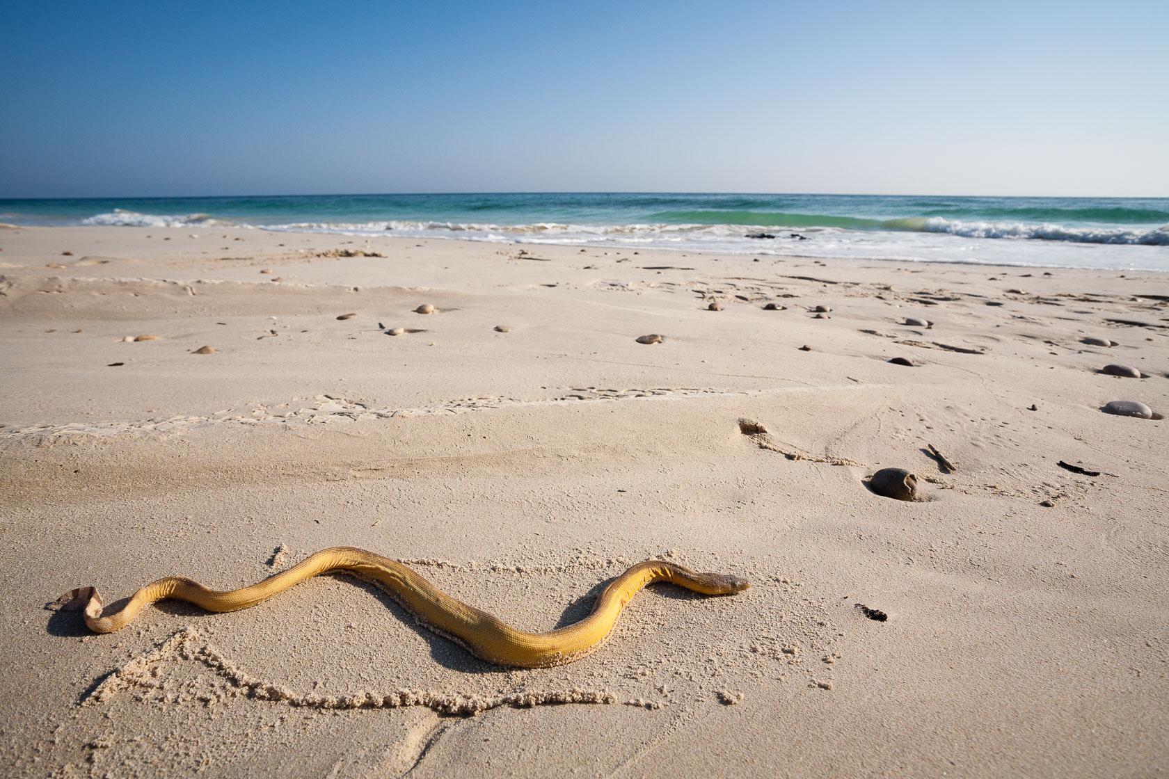 serpent marin (Hydrophis sp) sur une plage d'Oman