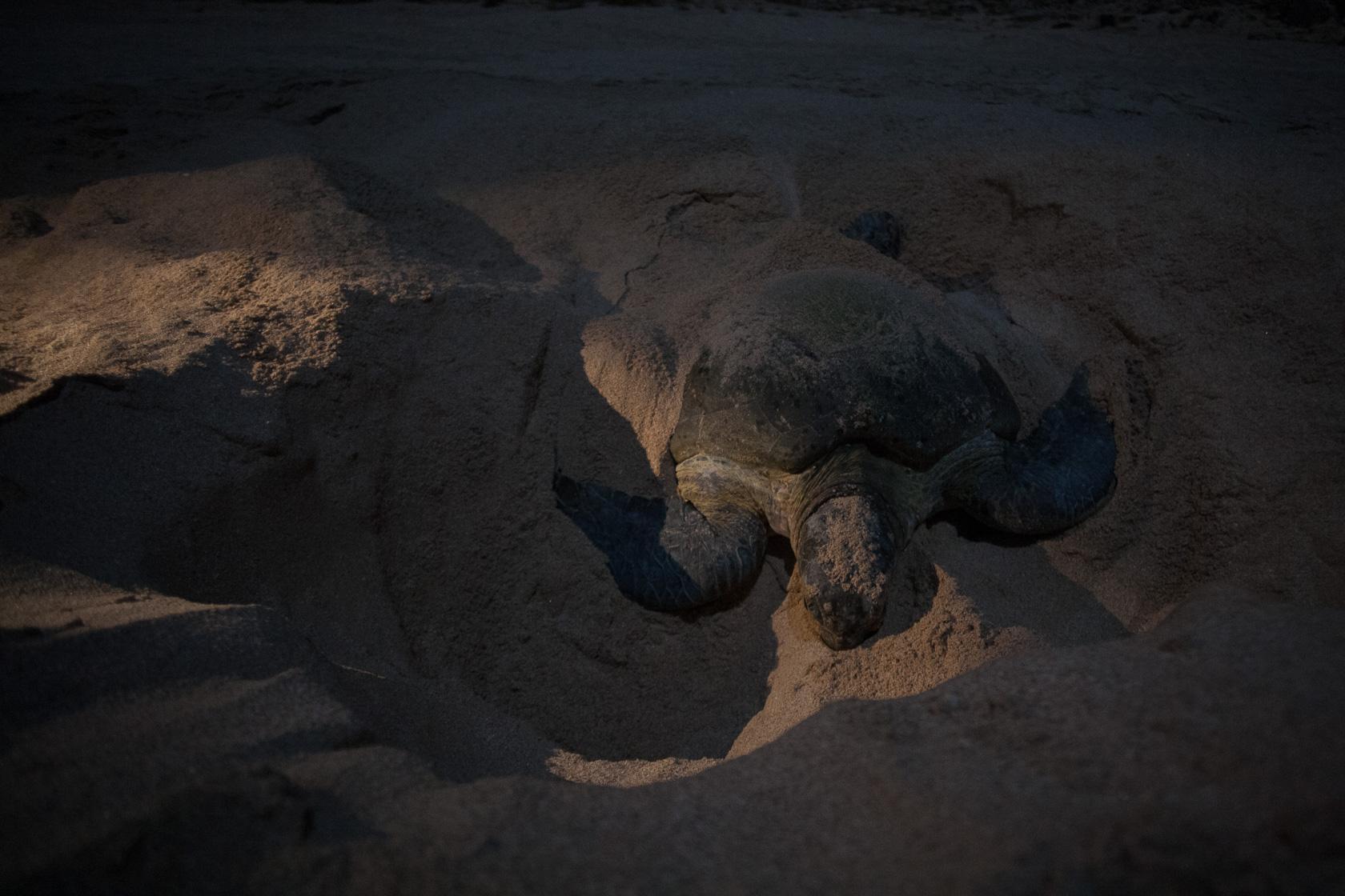 tortue verte (Chelonia mydas) pondant ses oeufs dans la réserve de Ras al jinz à Oman