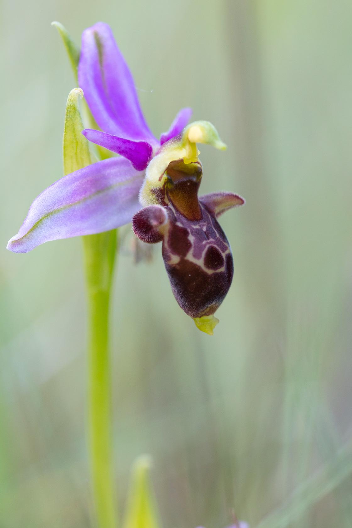 orchidée Ophrys bécasse (Ophrys scolopax) en Dordogne