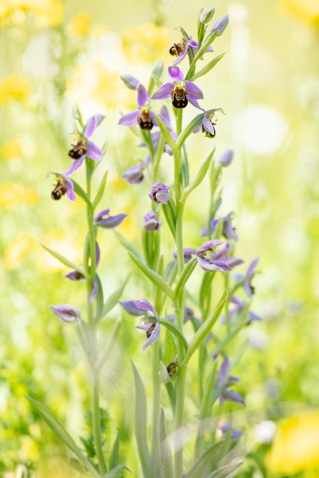 orchidée ophrys abeille (Ophrys apifera) dans une prairie en Dordogne