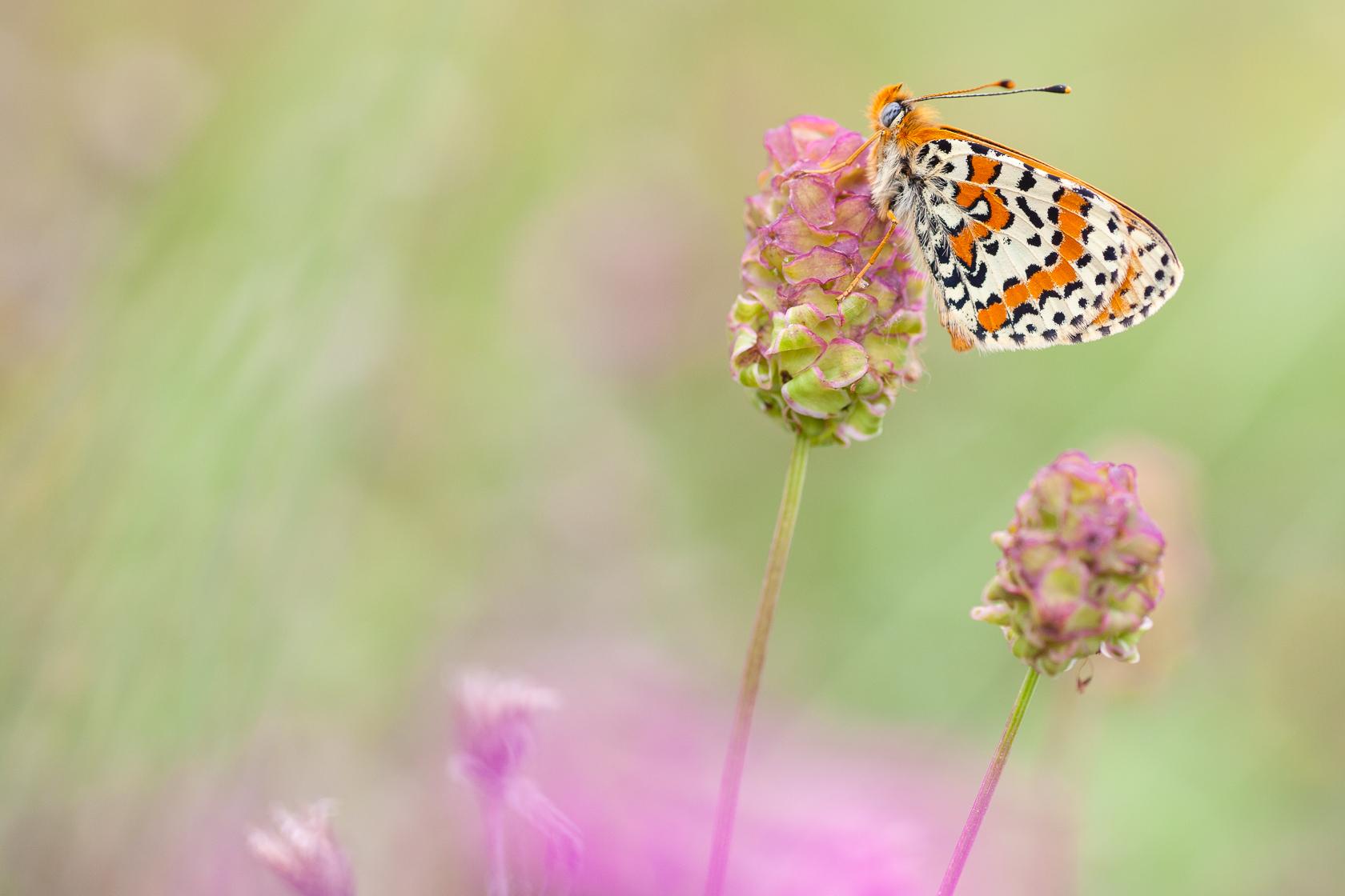 Mélitée orangée (Melitaea didyma), papillon des prairies pendant un stage photo papillon dans les Bauges