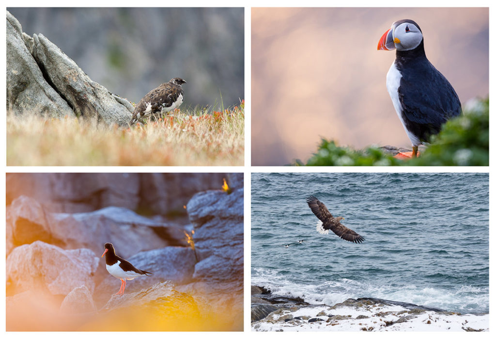 oiseaux photographiés en voyage photo aux lofoten