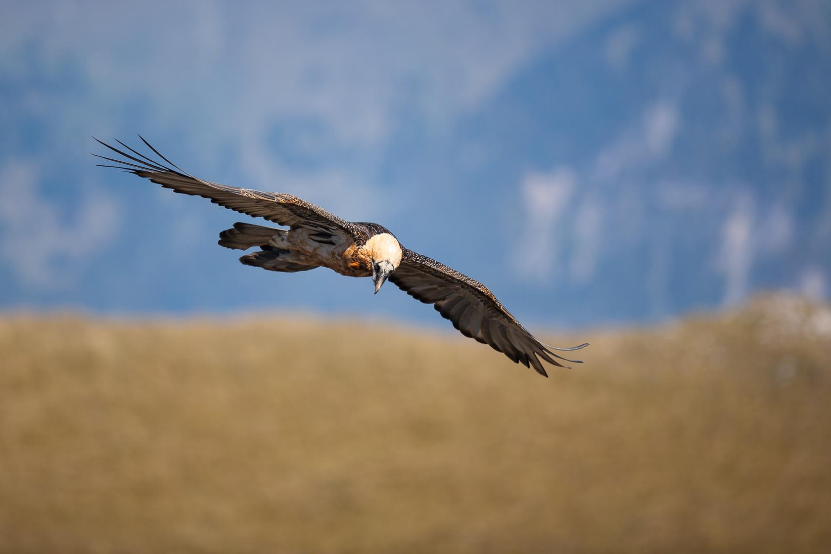 gypaète barbu adulte en vol photographié en stage photo gypaète