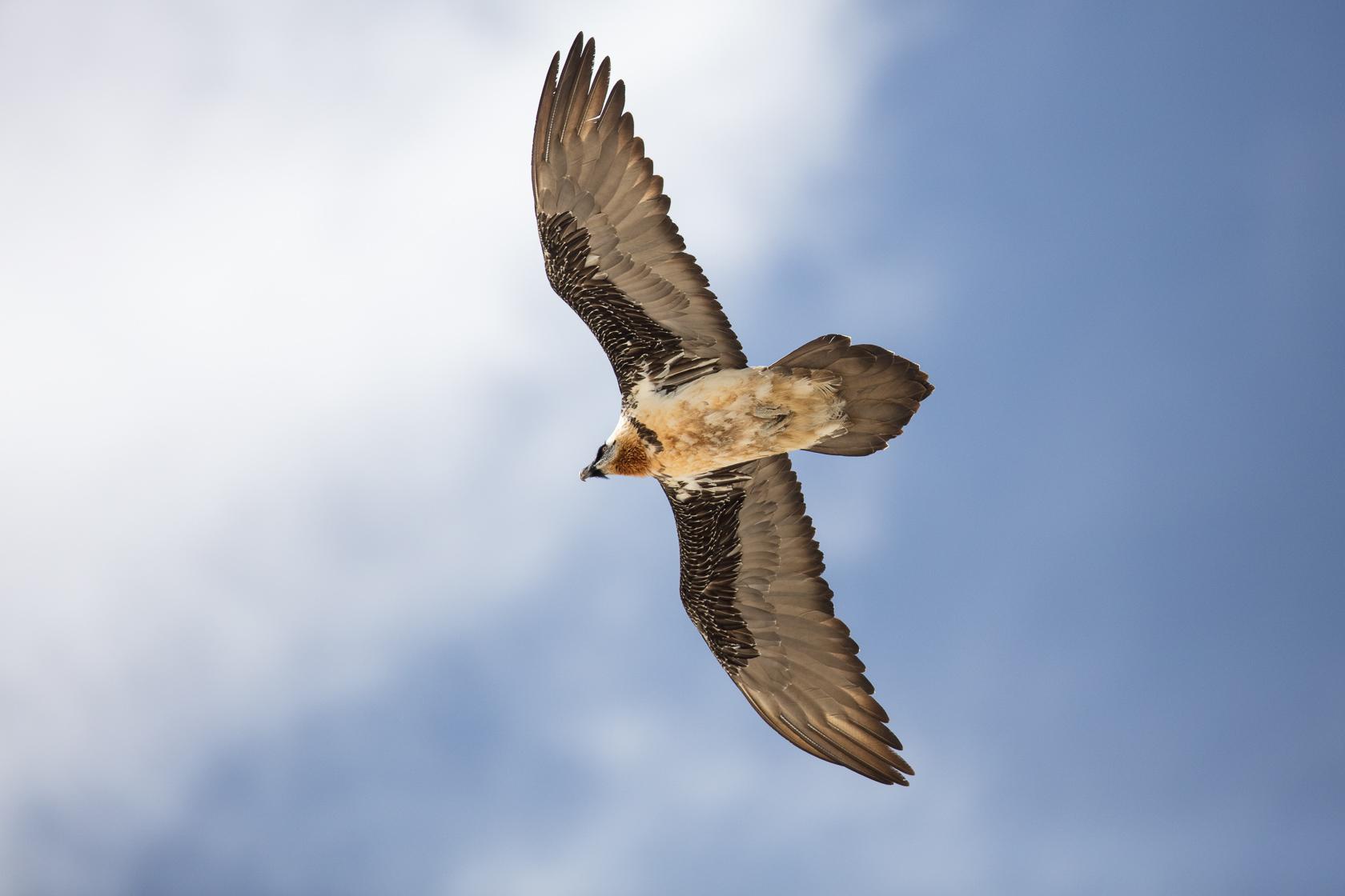 gypaète barbu adulte en vol en stage photo gypaète