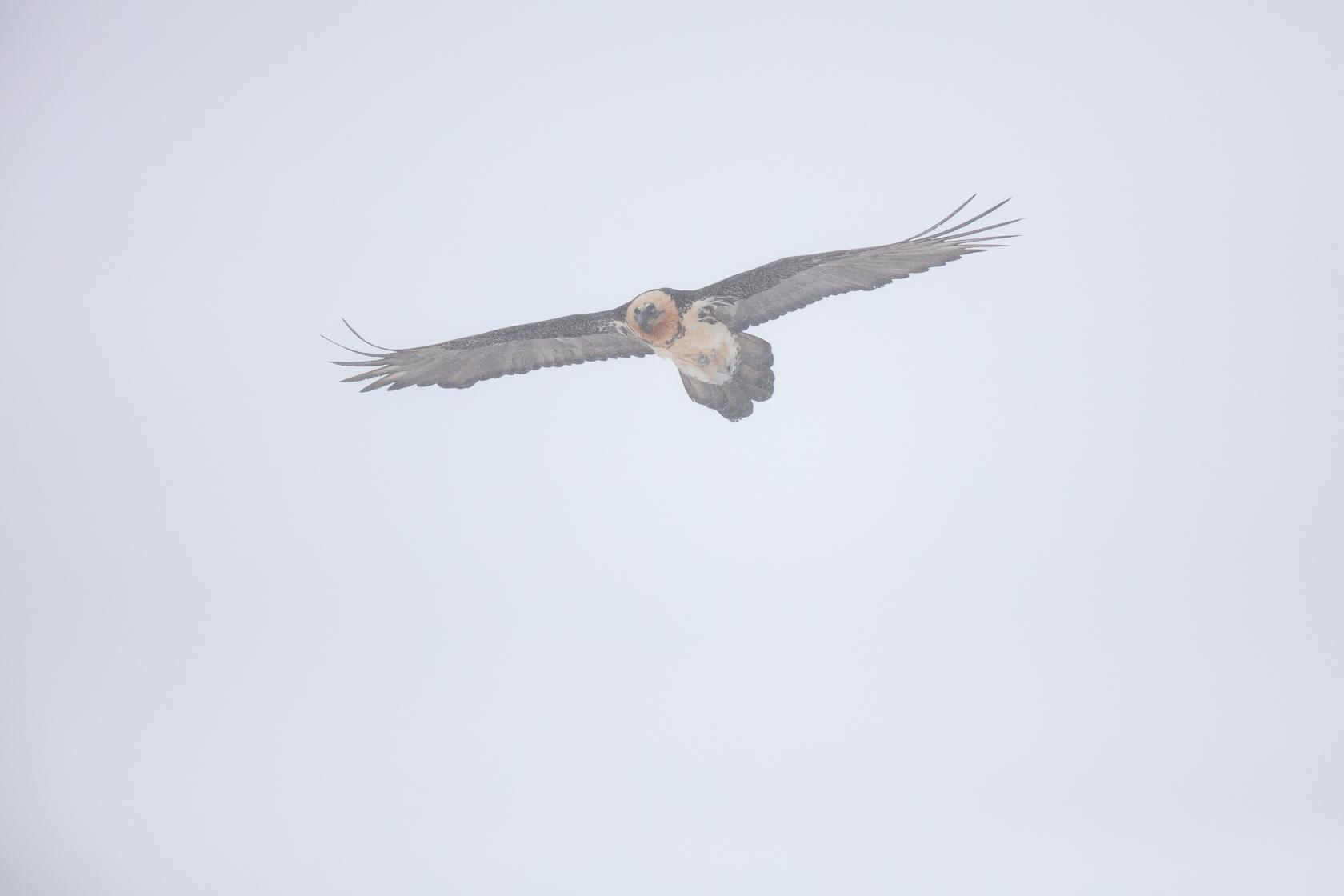 gypaète barbu adulte en vol sous la neige durant un stage photo gypaète